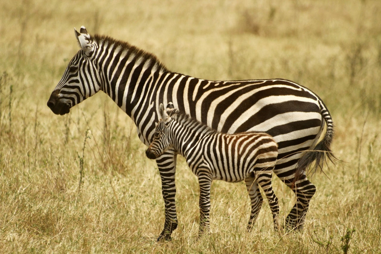 Burchell's Zebra and foal.