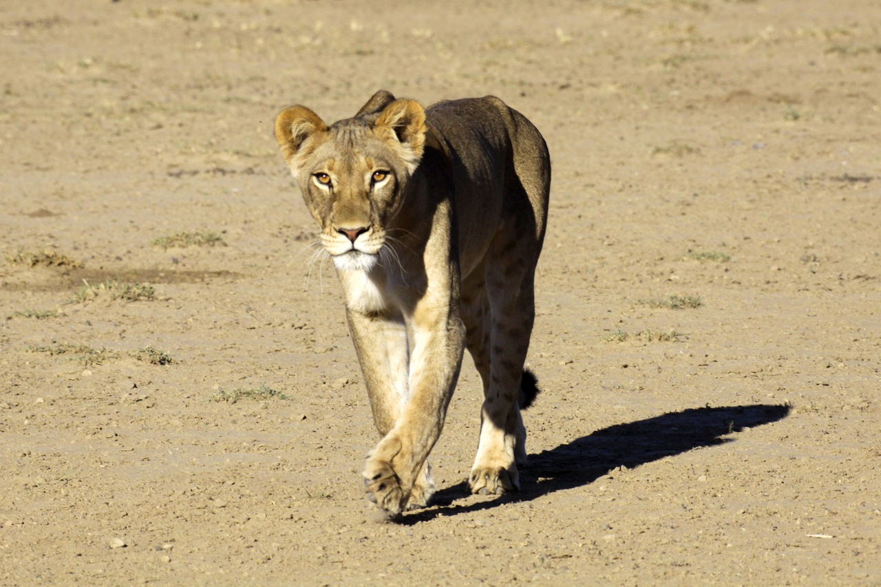 Lioness striding .