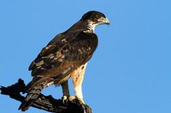 African Hawk-Eagle perched.