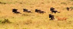 Lioness Attacking Blue Wildebeest .