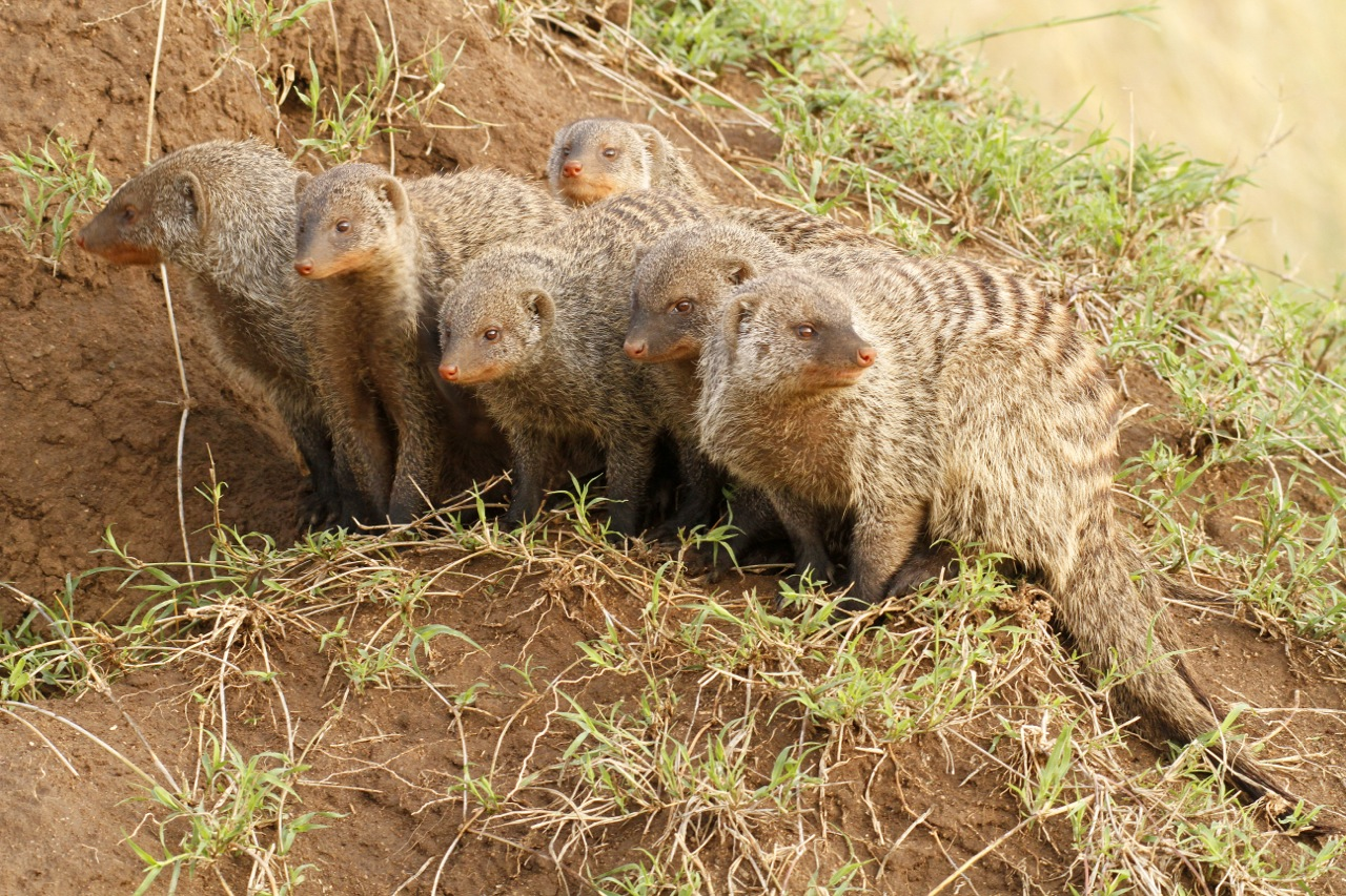Banded Mongoose Troop.