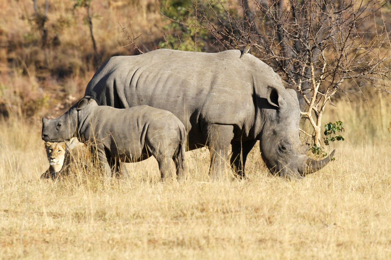 White Rhinoceros cow, calf and lion.jpg