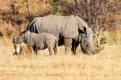 White Rhinoceros cow, calf and lion.jpg
