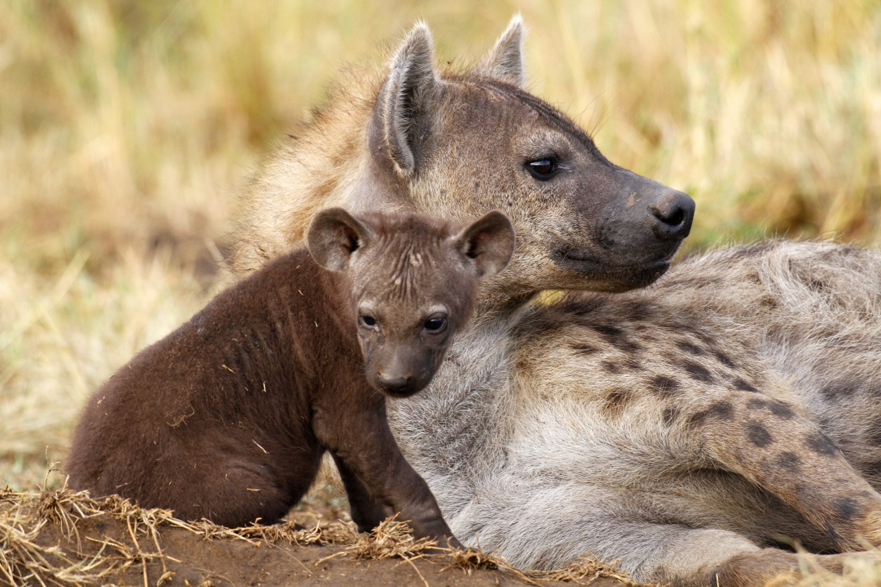 Spotted Hyaena and Pup.