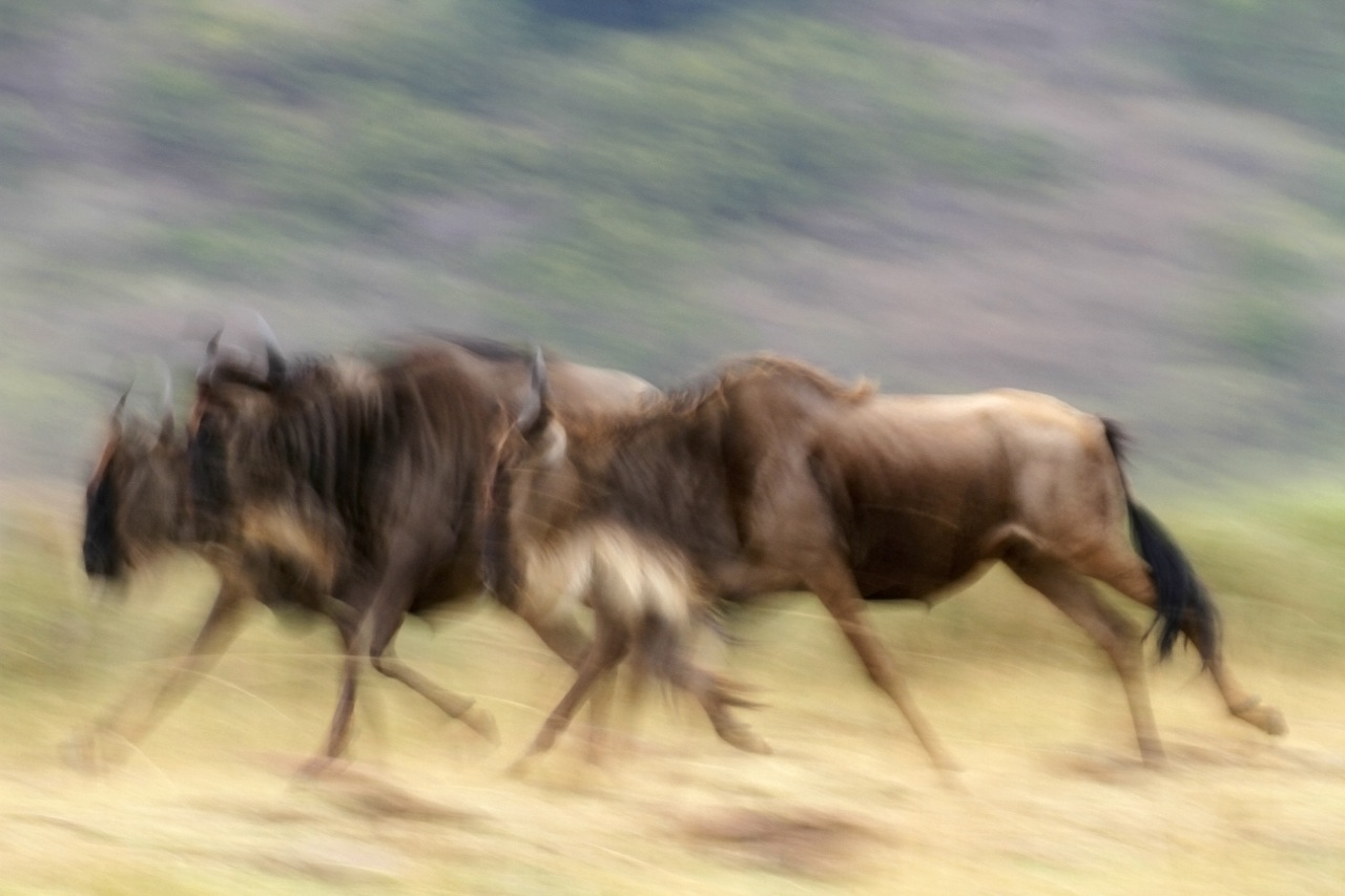 Wildebeest galloping.