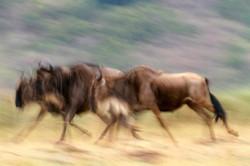 Wildebeest galloping.