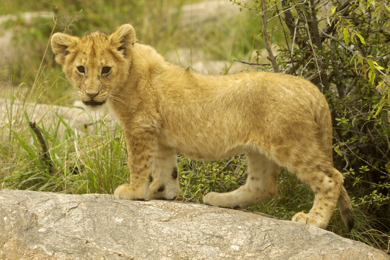 Lion Cub exploring.