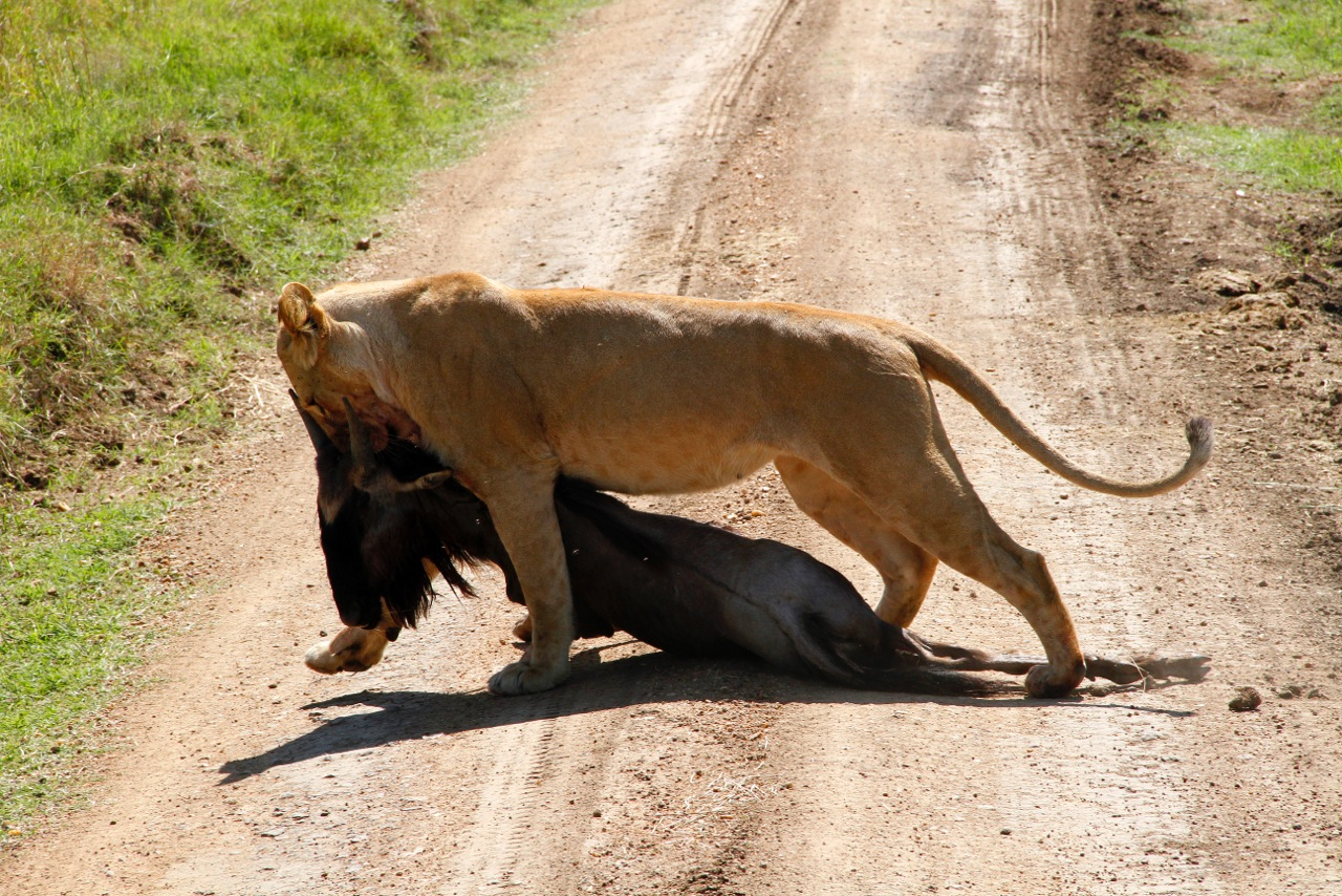 Lioness Dragging wildebeest kill.
