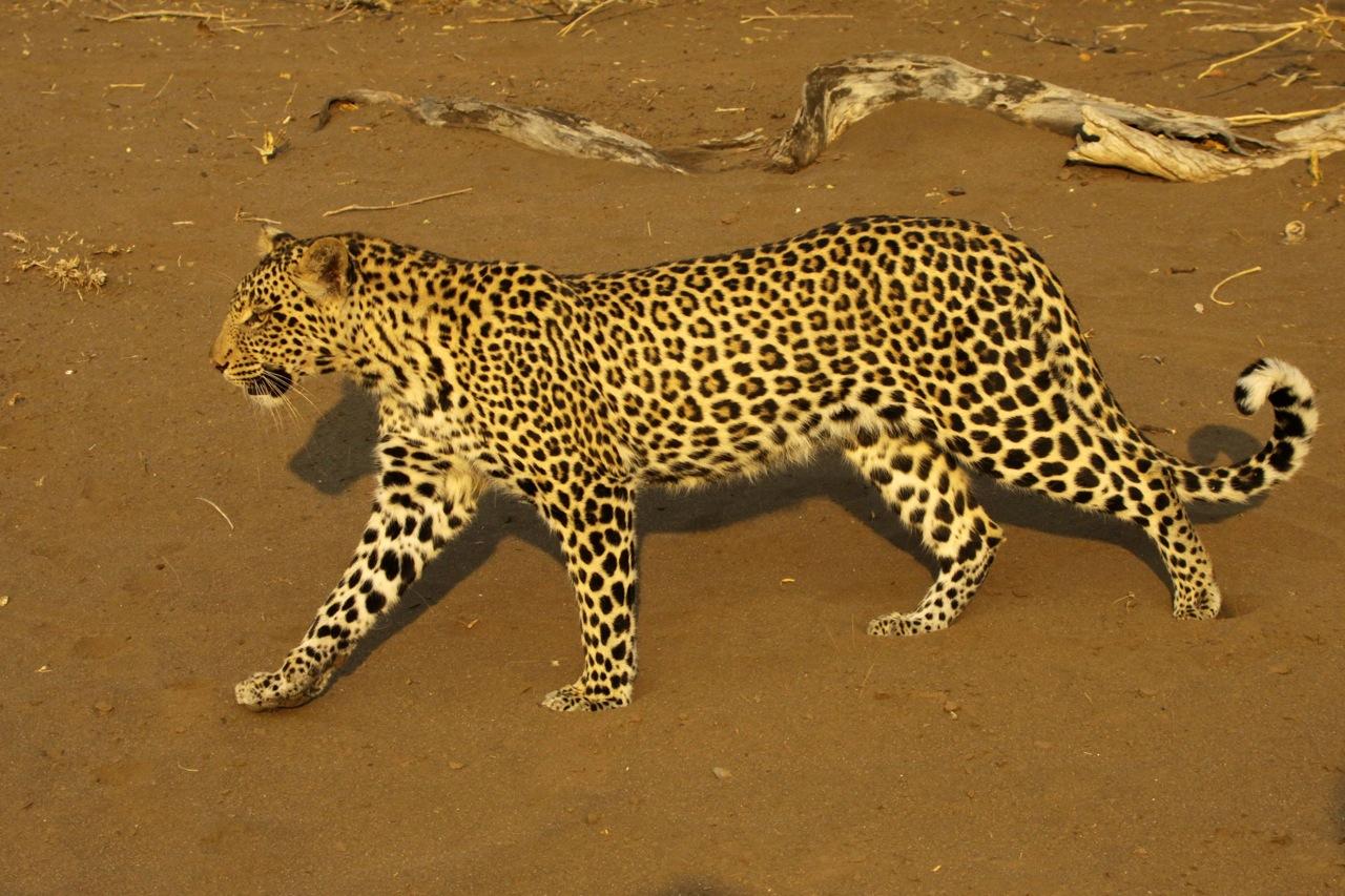Leopard Striding.