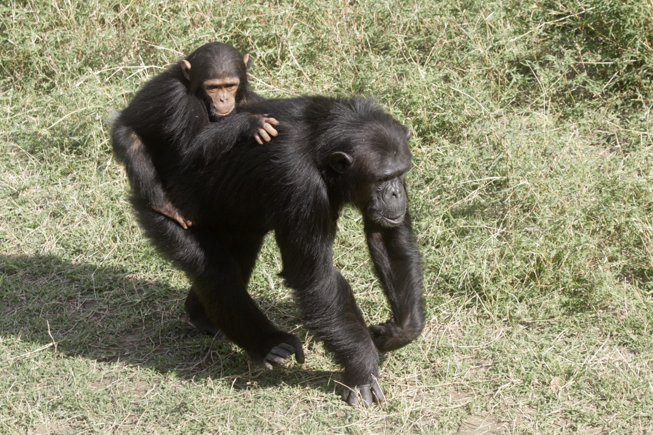 Chimpanzee and Young.