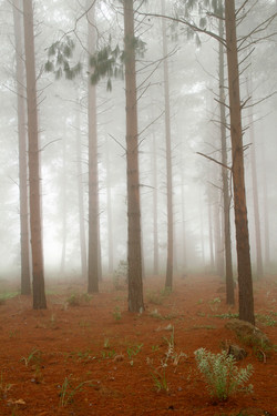 Misty Pine Forest.