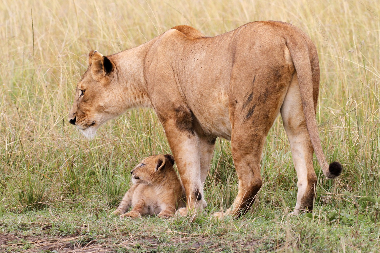 Protective Lioness and Cub.