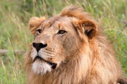 Lion Portrait stare.