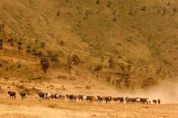 Maasai Cattle Herder Water Colour.
