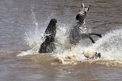 Crocodile and Zebra duel.