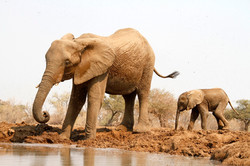 African Elephant cow and calf.