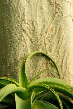 Fever Tree and Mountain Aloe.