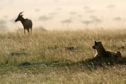 Spotted Hyaena opportunist.
