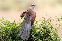 White-Browed Coucal.