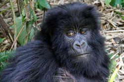 Gorilla Portrait.