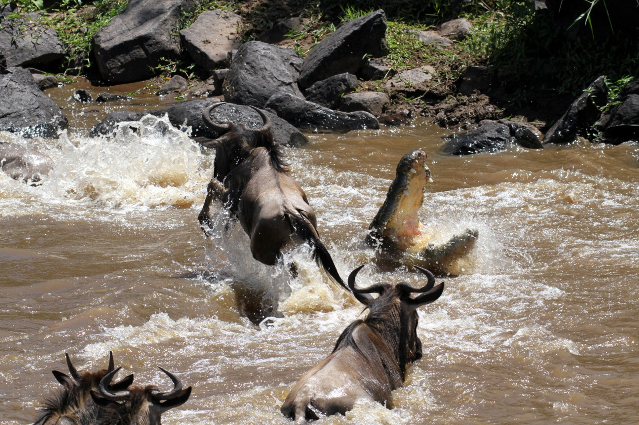 Nile Crocodile and Wildebeest.