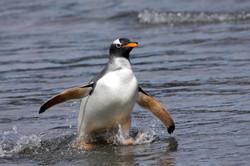 Gentoo Penguin.