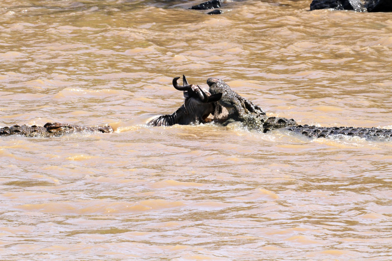 Crocodile attack.