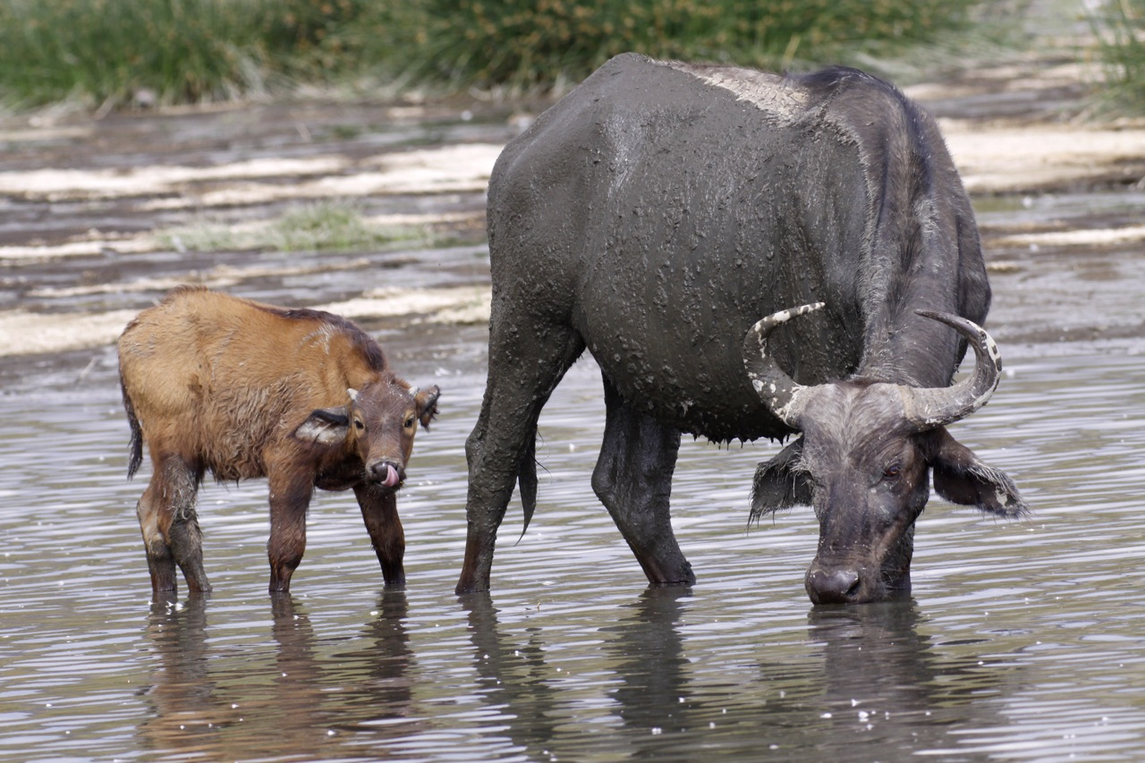 African Buffalo and Calf.