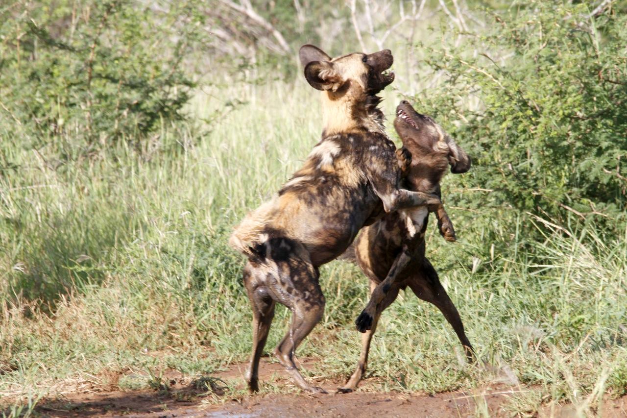 African Wild Dog challenge.
