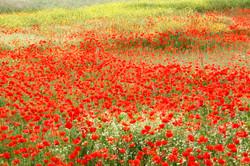 Poppy field, France.
