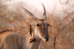 Eland Cow and Red-Billed Oxpeckers.