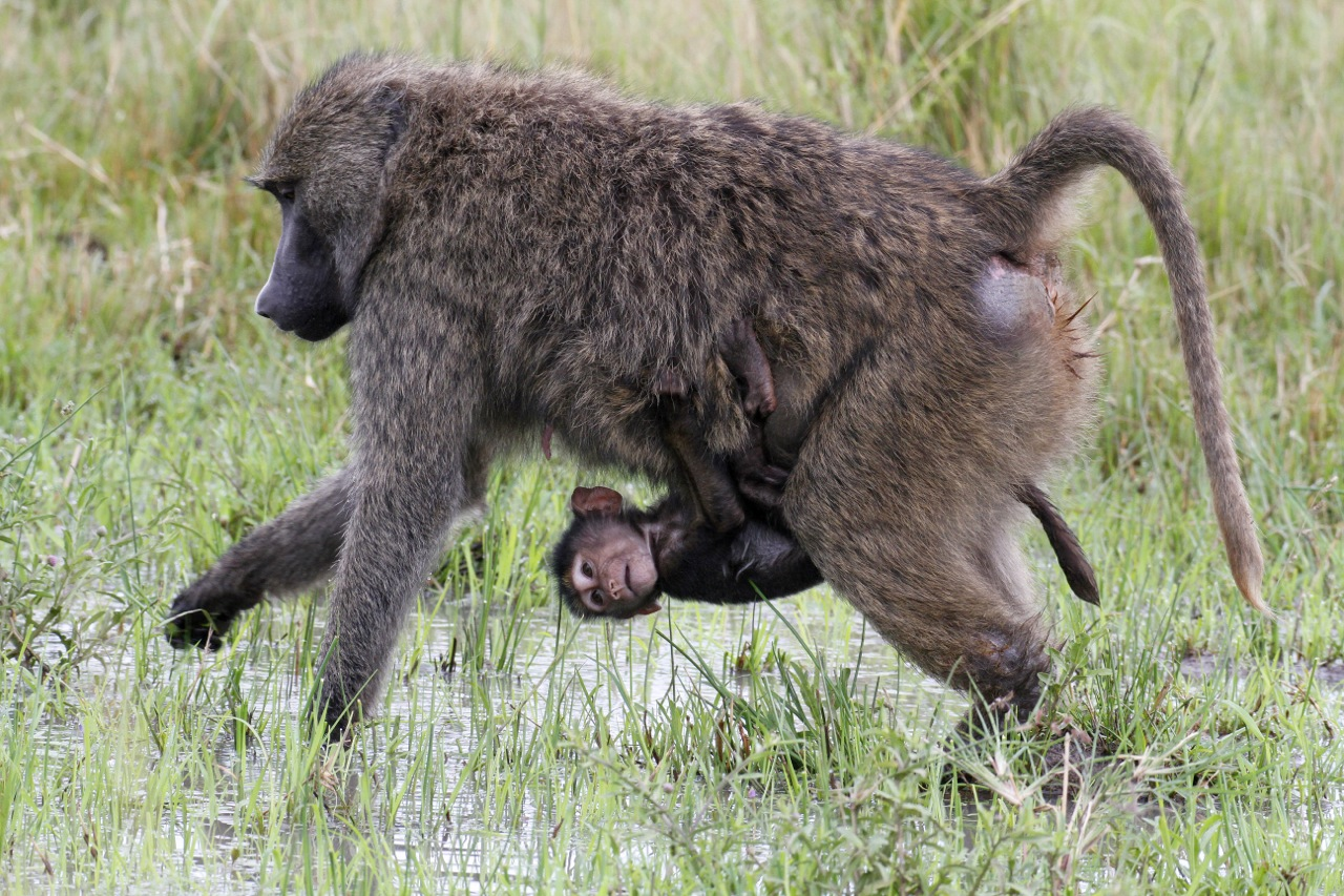 Chacma Baboon and young.