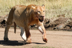 Lioness after the kill.
