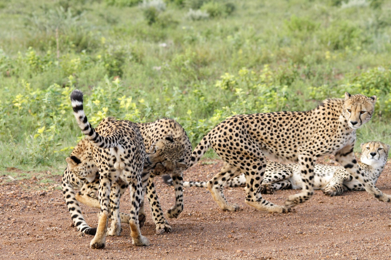 Cheetah brothers playing.