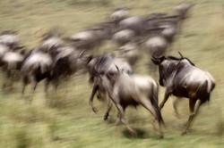 Stampeding Wildebeest.