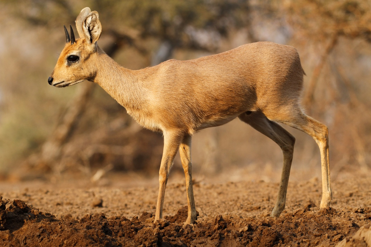 Steenbok male.