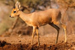 Steenbok male.