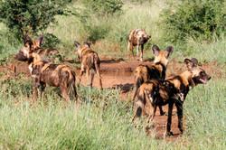 African Wild Dog pack.