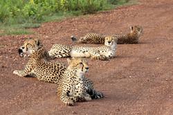 Cheetah brothers resting.