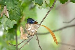Paradise flycatcher male.