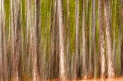 Eucalyptus Forest Fantasy.