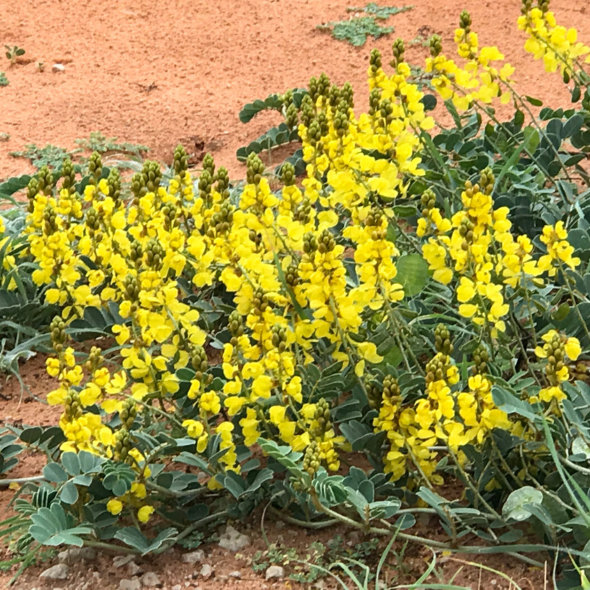 Yellow on the dunes