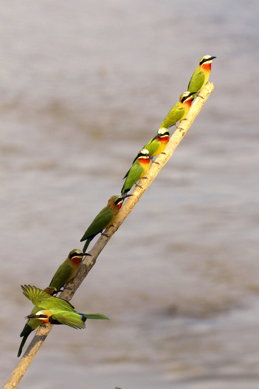 Whitefronted Bee-eaters.
