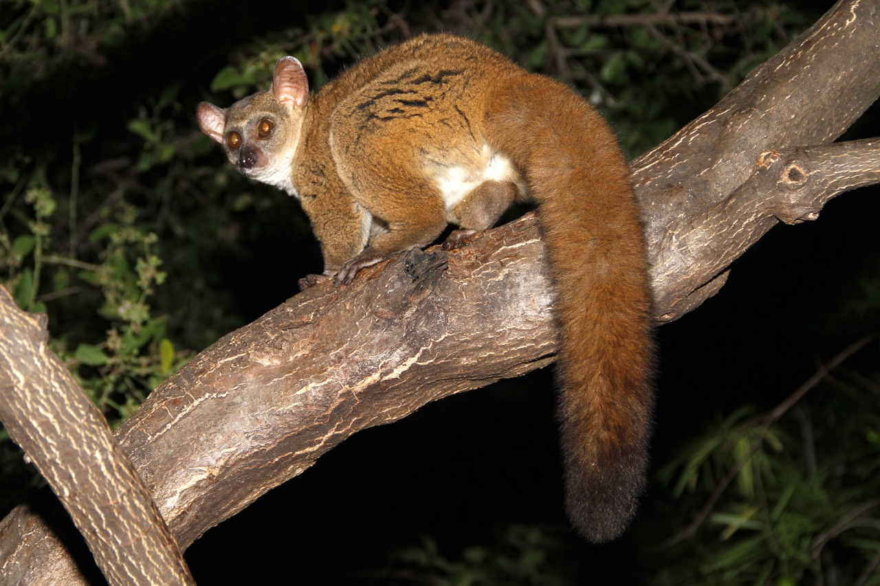 Greater Galago.