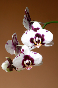 Orchid Blooms.