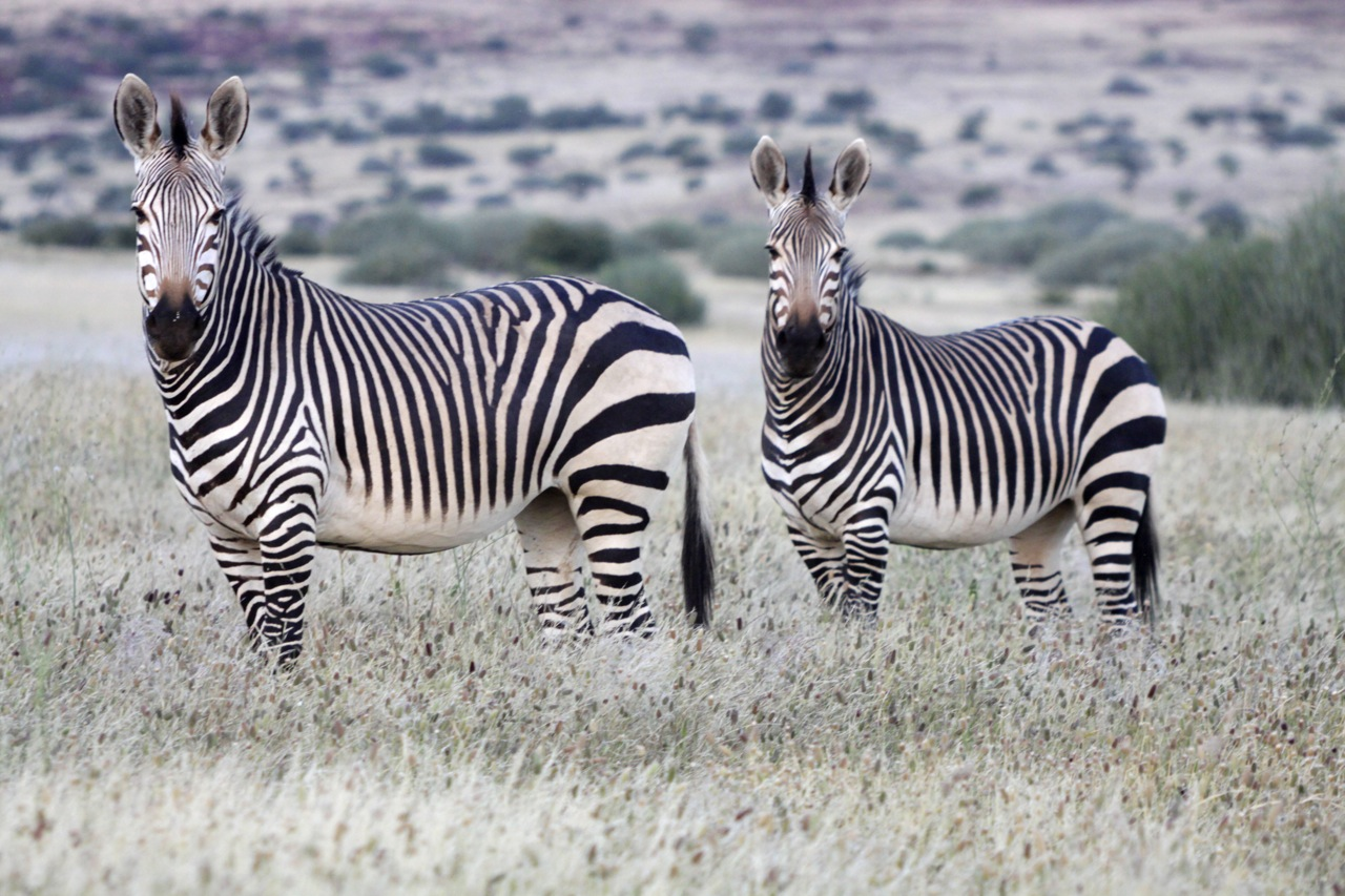 Mountain Zebra.