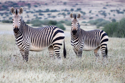 Mountain Zebra.