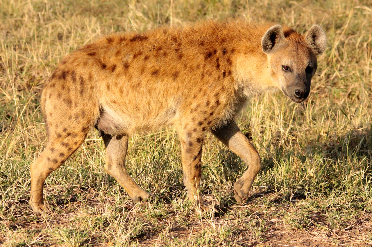Sotted Hyaena prowling.