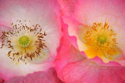 Poppy Blooms.