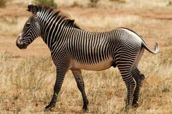 Grevy's Zebra, Samburu, Kenya..jpg